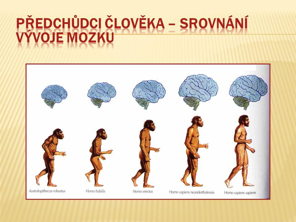Předchůdci člověka – srovnání vývoje mozku