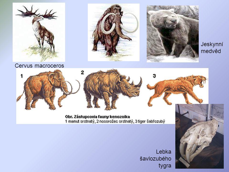 Jeskynní medvěd Cervus macroceros Lebka šavlozubého tygra