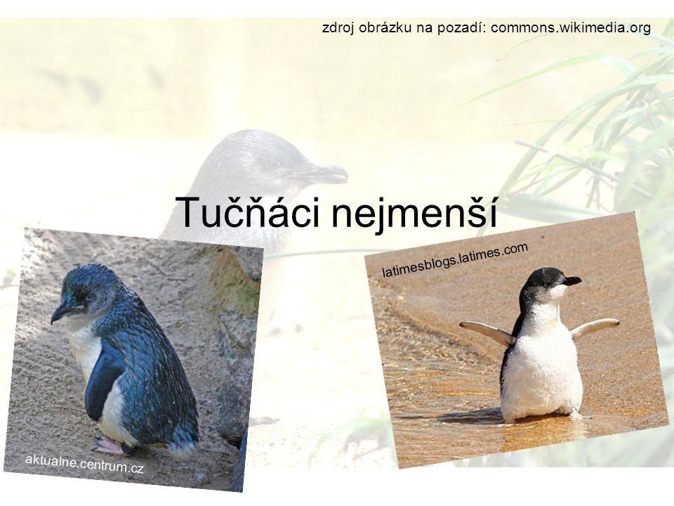 Tučňáci nejmenší zdroj obrázku na pozadí: commons.wikimedia.org