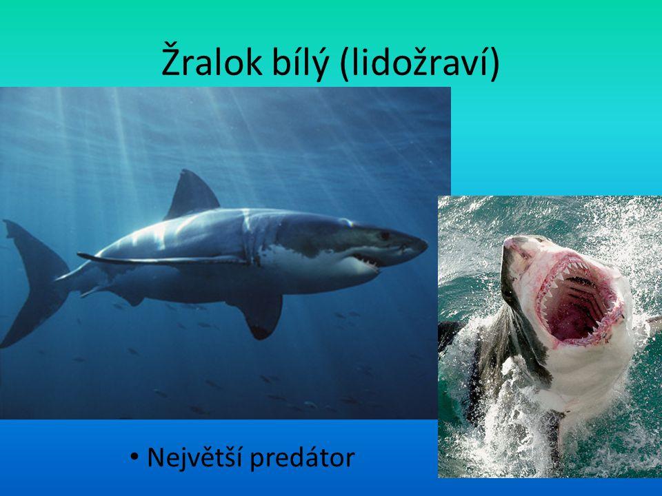 Žralok bílý (lidožraví)