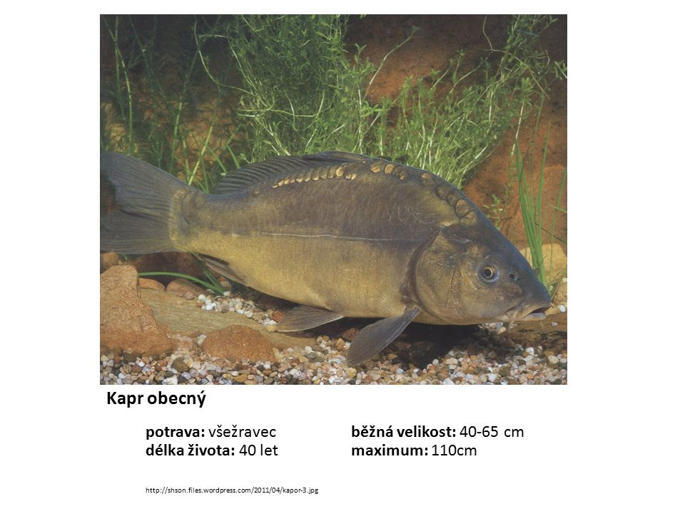 Kapr obecný potrava: všežravec běžná velikost: 40-65 cm délka života: 40 let maximum: 110cm http://shson.files.wordpress.com/2011/04/kapor-3.jpg.