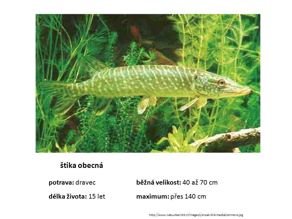 štika obecná potrava: dravec běžná velikost: 40 až 70 cm délka života: 15 let maximum: přes 140 cm.