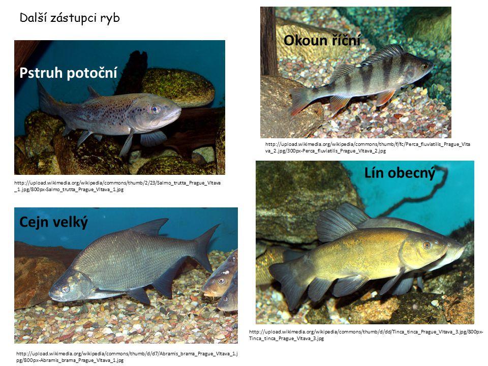 Okoun říční Pstruh potoční Lín obecný Cejn velký Další zástupci ryb