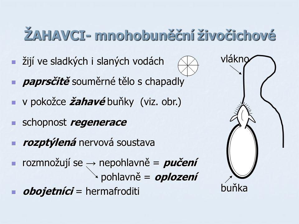 ŽAHAVCI- mnohobuněční živočichové