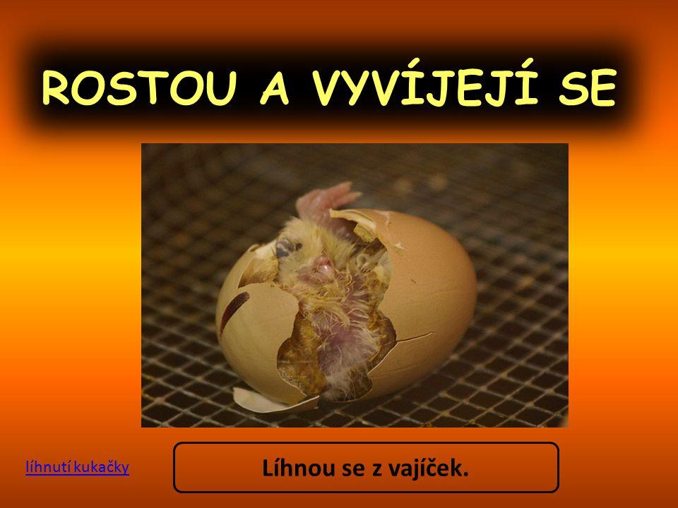 ROSTOU A VYVÍJEJÍ SE Líhnou se z vajíček. líhnutí kukačky
