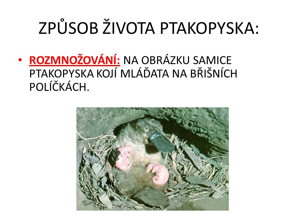 ZPŮSOB ŽIVOTA PTAKOPYSKA: