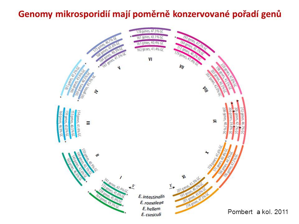 Genomy mikrosporidií mají poměrně konzervované pořadí genů