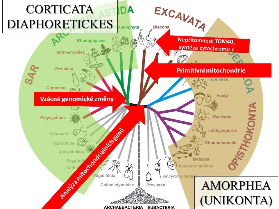 CORTICATA DIAPHORETICKES AMORPHEA (UNIKONTA) Primitivní mitochondrie