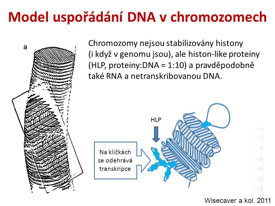 Model uspořádání DNA v chromozomech