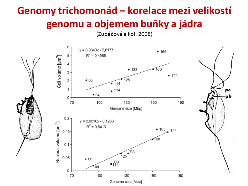 Genomy trichomonád – korelace mezi velikostí genomu a objemem buňky a jádra (Zubáčová a kol. 2008)