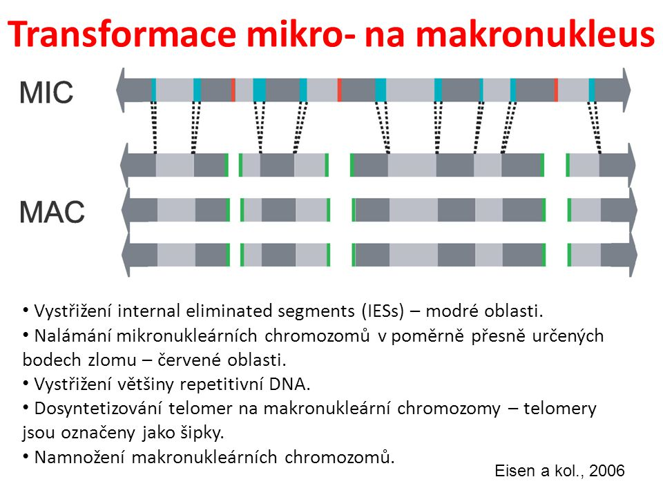 Transformace mikro- na makronukleus