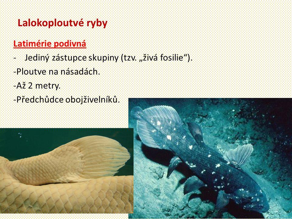 Lalokoploutvé ryby Latimérie podivná