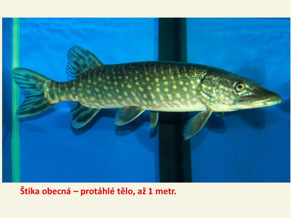 Štika obecná – protáhlé tělo, až 1 metr.