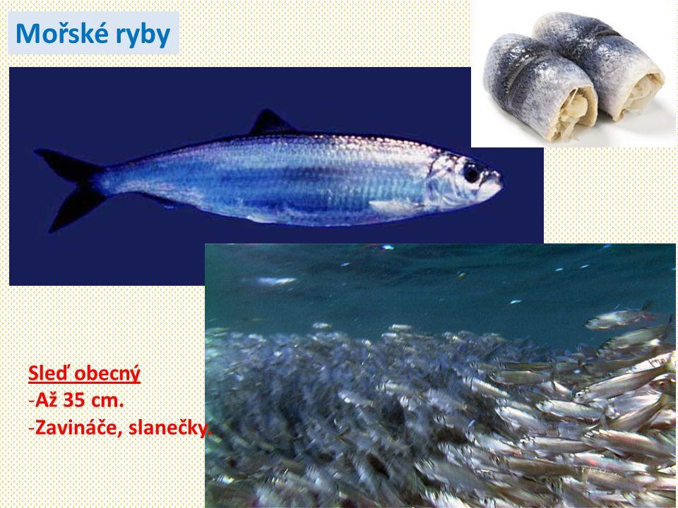 Mořské ryby Sleď obecný Až 35 cm. Zavináče, slanečky.