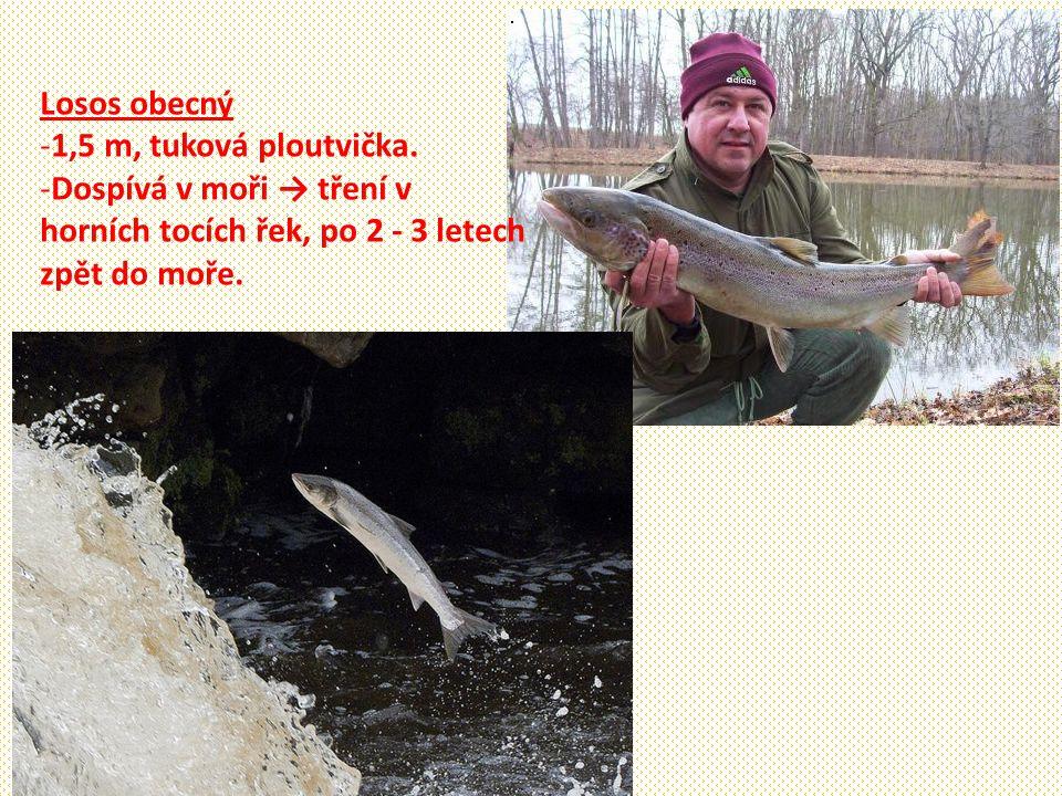 Losos obecný 1,5 m, tuková ploutvička. Dospívá v moři → tření v. horních tocích řek, po 2 - 3 letech.