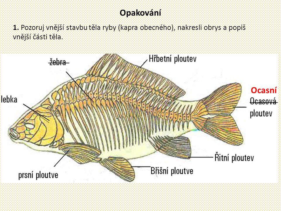Opakování 1. Pozoruj vnější stavbu těla ryby (kapra obecného), nakresli obrys a popiš vnější části těla.
