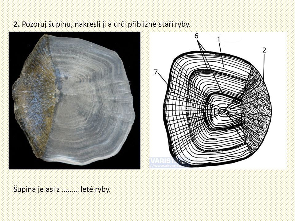 2. Pozoruj šupinu, nakresli ji a urči přibližné stáří ryby