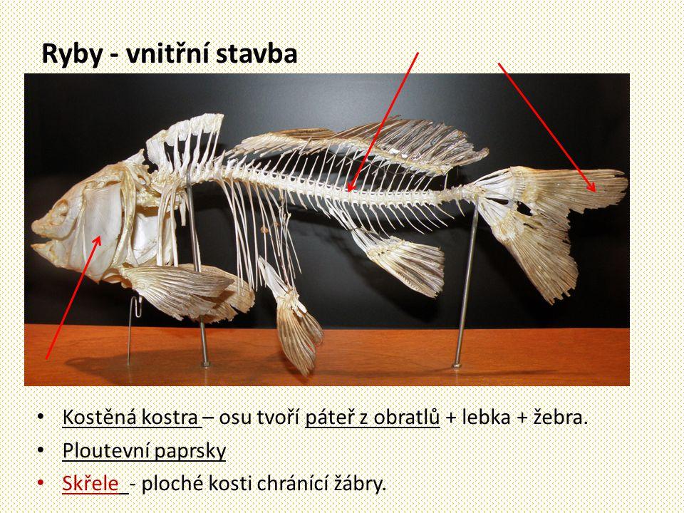 Ryby - vnitřní stavba Kostěná kostra – osu tvoří páteř z obratlů + lebka + žebra. Ploutevní paprsky.