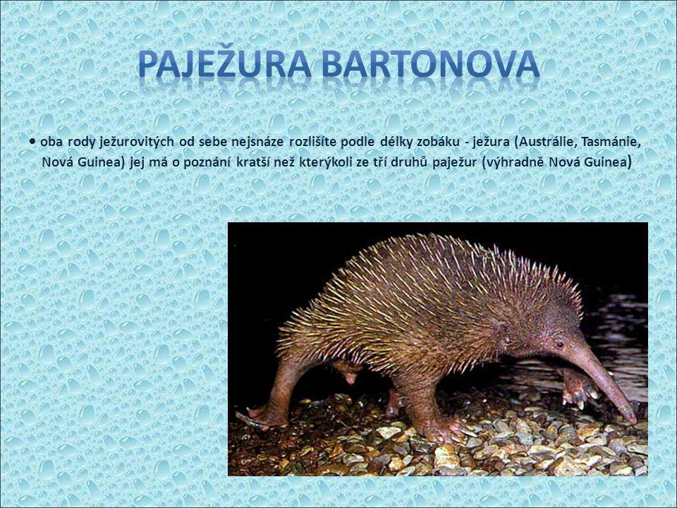 Paježura Bartonova • oba rody ježurovitých od sebe nejsnáze rozlišíte podle délky zobáku - ježura (Austrálie, Tasmánie,