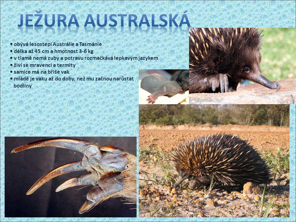 Ježura Australská • obývá lesostepi Austrálie a Tasmánie