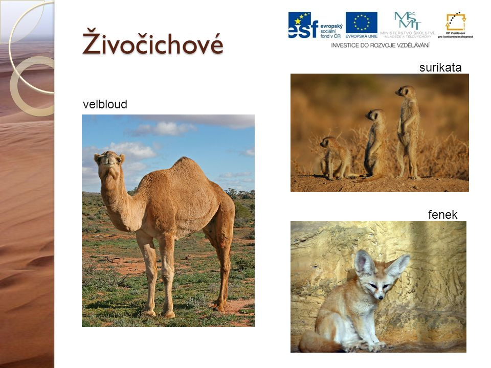Živočichové surikata velbloud fenek