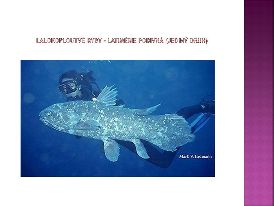 Lalokoploutvé ryby – Latimérie podivná (jediný druh)