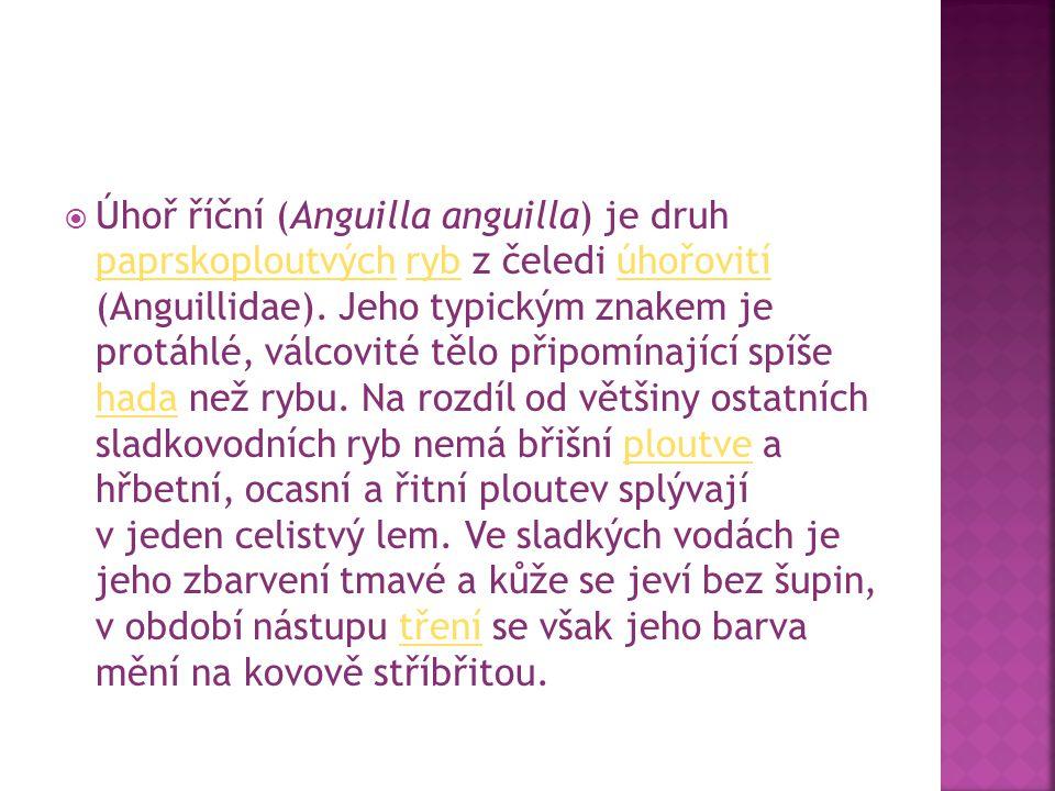 Úhoř říční (Anguilla anguilla) je druh paprskoploutvých ryb z čeledi úhořovití (Anguillidae).