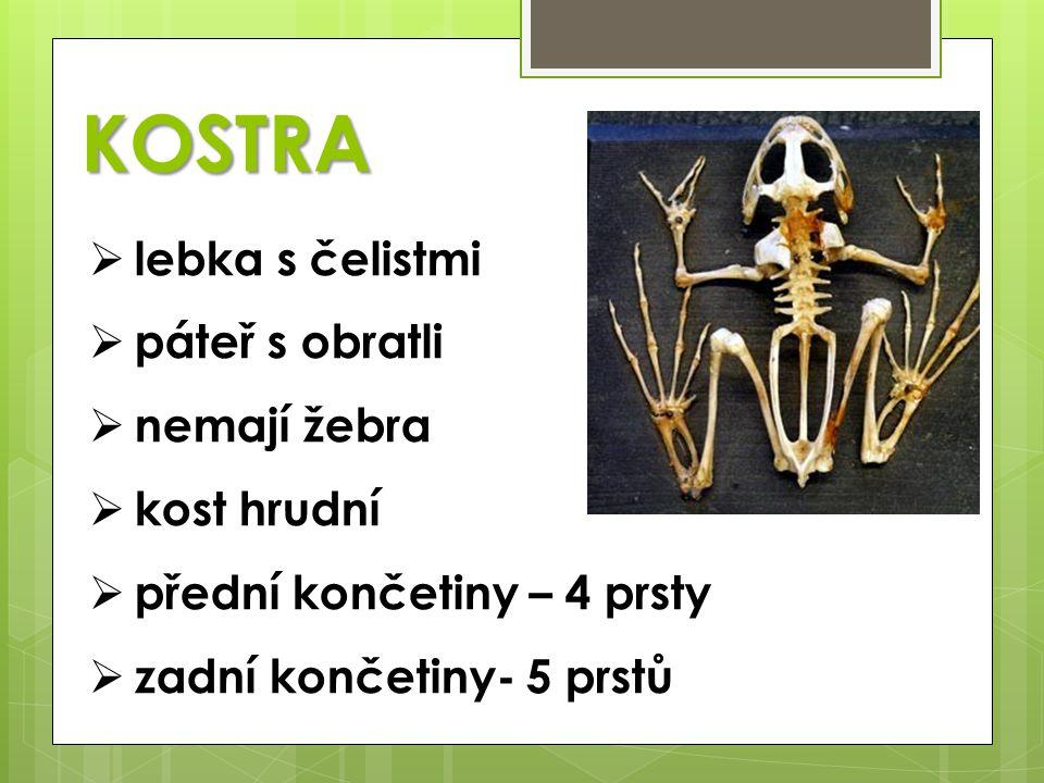 KOSTRA lebka s čelistmi páteř s obratli nemají žebra kost hrudní
