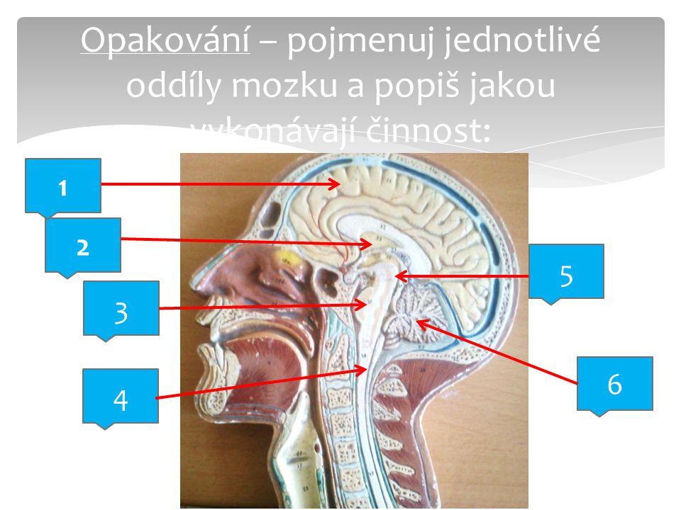 Opakování – pojmenuj jednotlivé oddíly mozku a popiš jakou vykonávají činnost:
