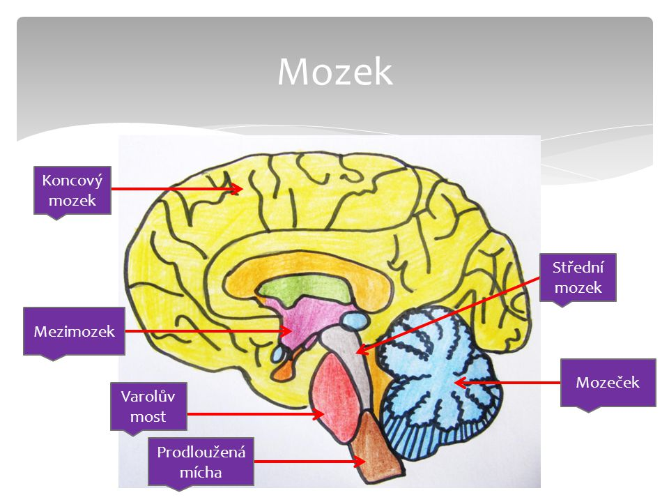Mozek Koncový mozek Střední mozek Mezimozek Mozeček Varolův most