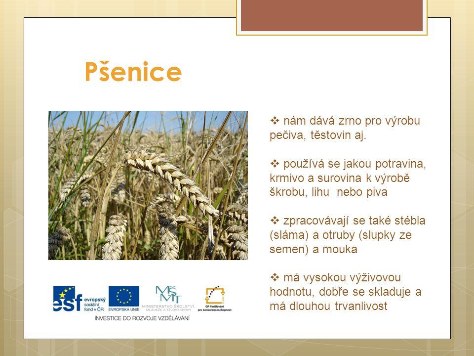 Pšenice nám dává zrno pro výrobu pečiva, těstovin aj.