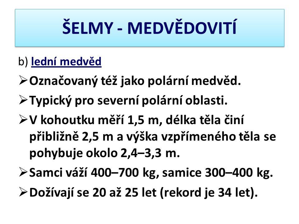 ŠELMY - MEDVĚDOVITÍ Označovaný též jako polární medvěd.