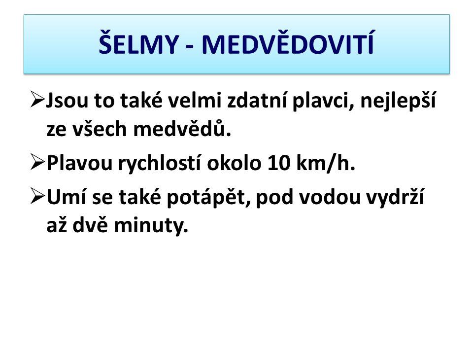ŠELMY - MEDVĚDOVITÍ Jsou to také velmi zdatní plavci, nejlepší ze všech medvědů. Plavou rychlostí okolo 10 km/h.