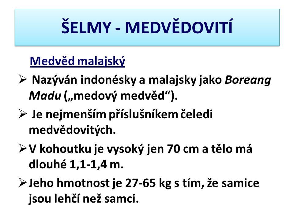 ŠELMY - MEDVĚDOVITÍ Medvěd malajský