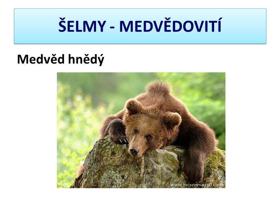 ŠELMY - MEDVĚDOVITÍ Medvěd hnědý