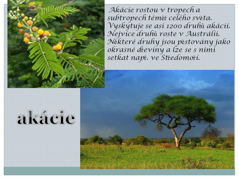 Akácie rostou v tropech a subtropech téměř celého světa