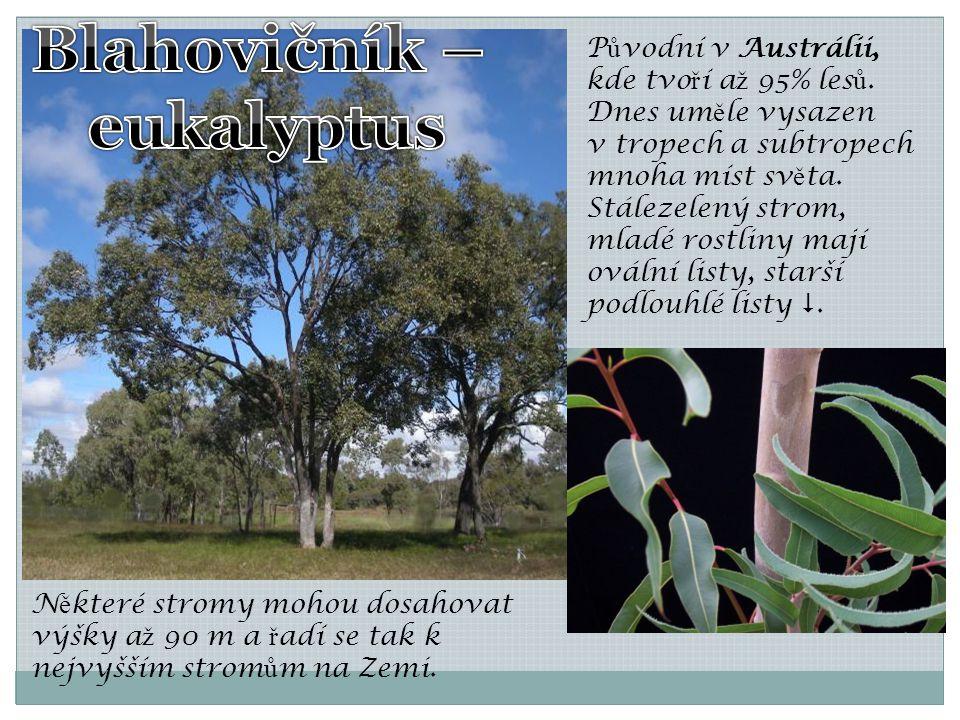 Blahovičník – eukalyptus