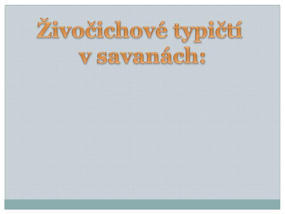 Živočichové typičtí v savanách: