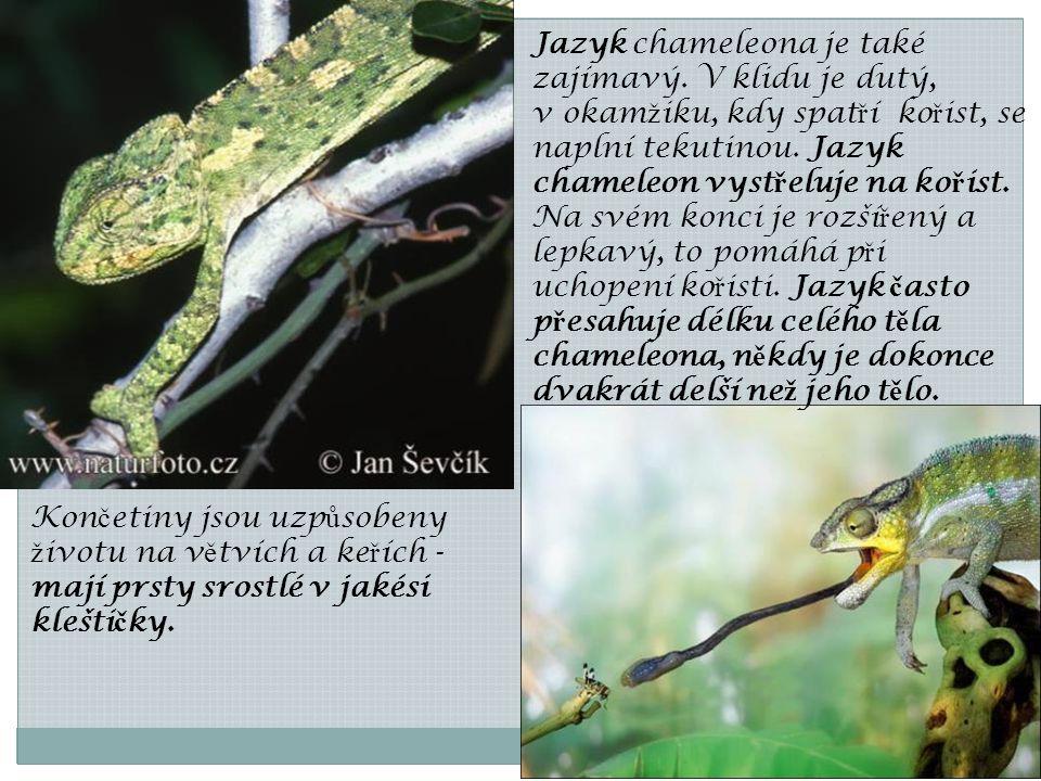 Jazyk chameleona je také zajímavý