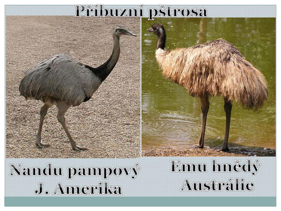 Příbuzní pštrosa Emu hnědý Austrálie Nandu pampový J. Amerika