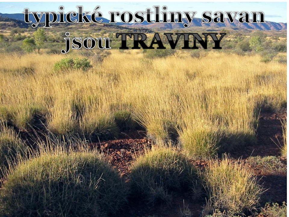 typické rostliny savan jsou TRAVINY
