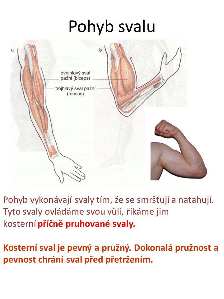 Pohyb svalu Pohyb vykonávají svaly tím, že se smršťují a natahují.