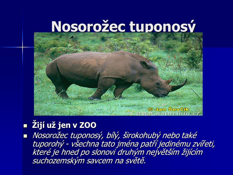 Nosorožec tuponosý Žijí už jen v ZOO