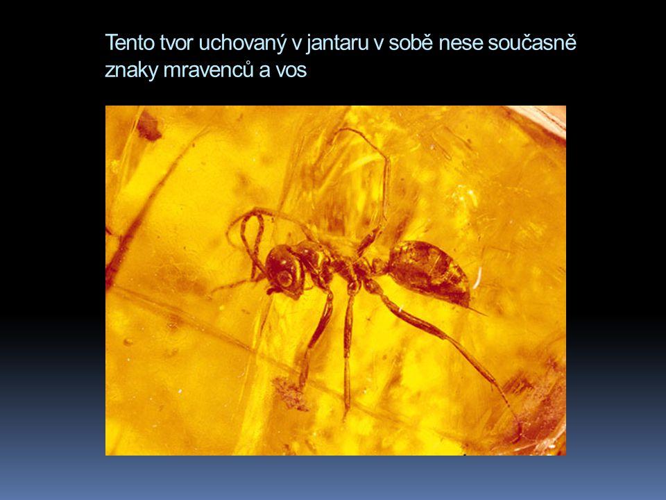 Tento tvor uchovaný v jantaru v sobě nese současně znaky mravenců a vos