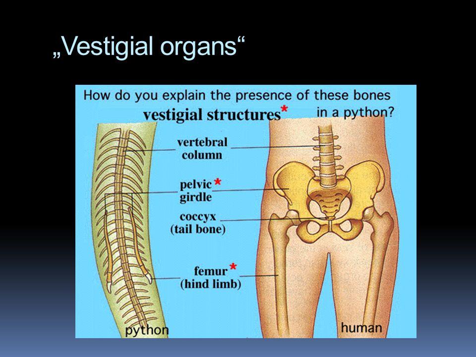 """""""Vestigial organs"""