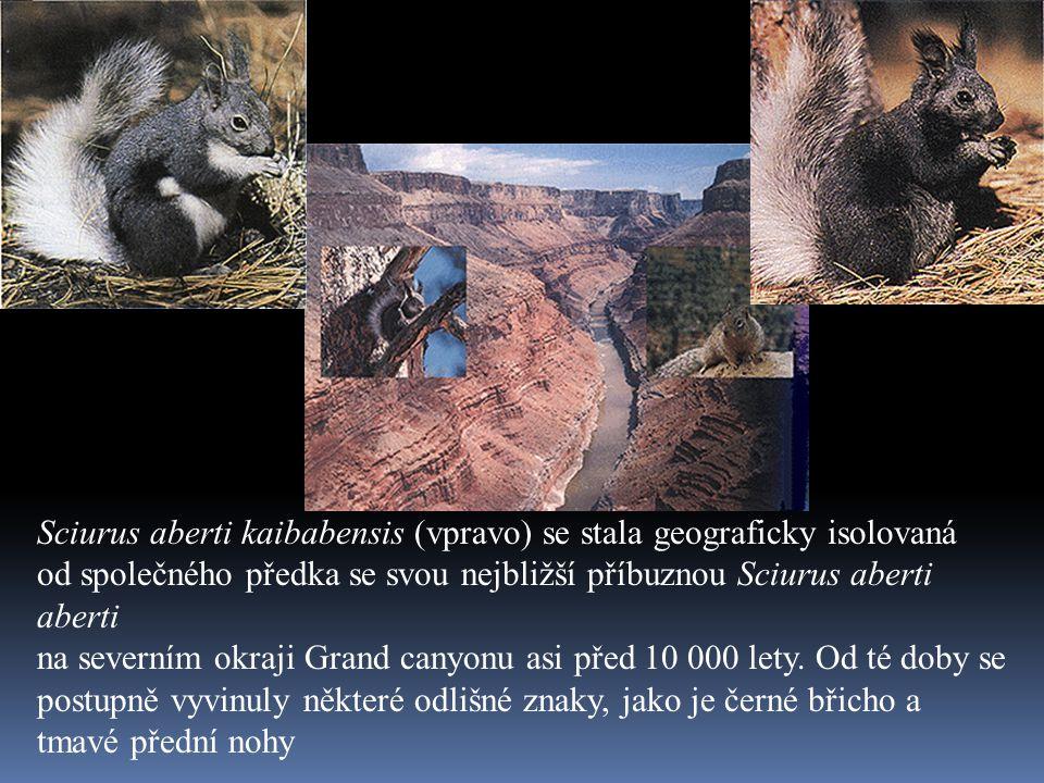 Sciurus aberti kaibabensis (vpravo) se stala geograficky isolovaná