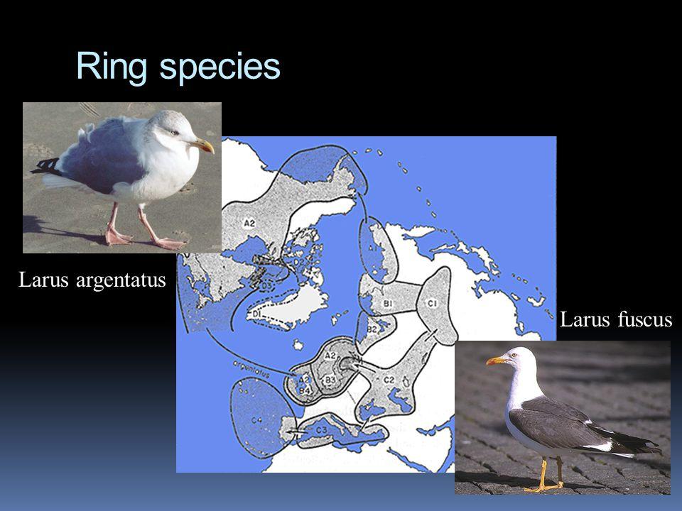 Ring species Larus argentatus Larus fuscus