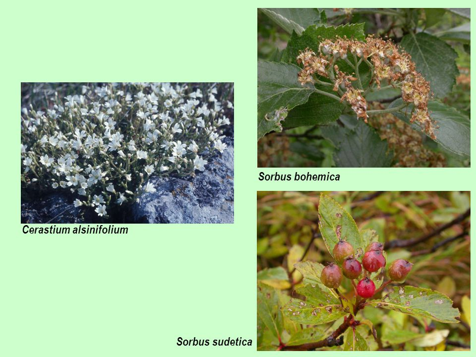 Sorbus bohemica Cerastium alsinifolium Sorbus sudetica
