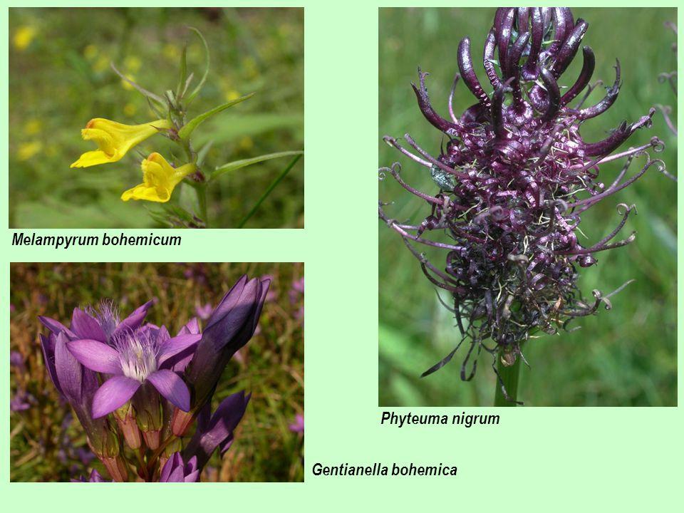 Melampyrum bohemicum Phyteuma nigrum Gentianella bohemica