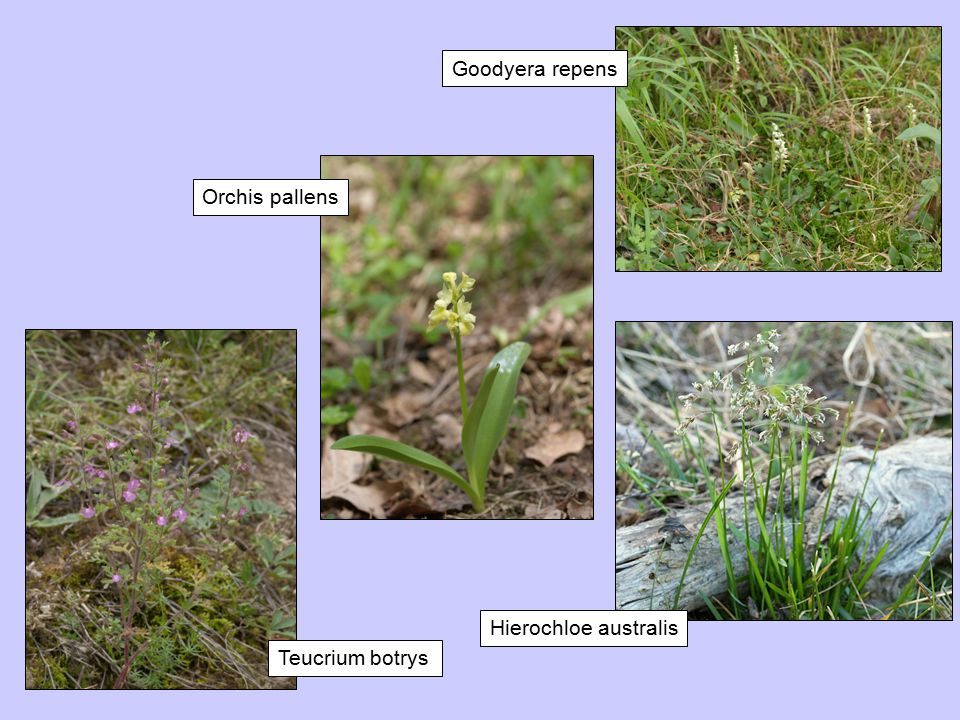 Goodyera repens Orchis pallens Hierochloe australis Teucrium botrys